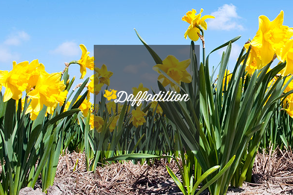 Project image for Daffodillion